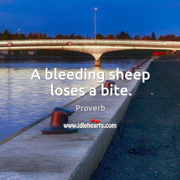 A bleeding sheep loses a bite. Image