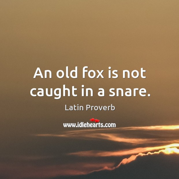 Image, An old fox is not caught in a snare.