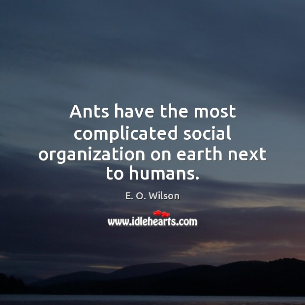 Ants have the most complicated social organization on earth next to humans. E. O. Wilson Picture Quote