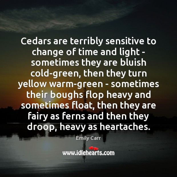 Cedars are terribly sensitive to change of time and light – sometimes Image