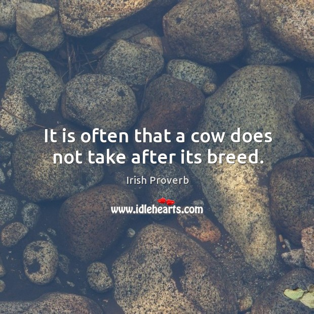 It is often that a cow does not take after its breed. Irish Proverbs Image