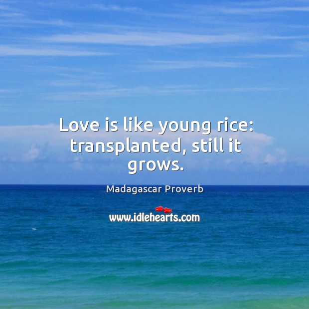 Love is like young rice: transplanted, still it grows. Madagascar Proverbs Image