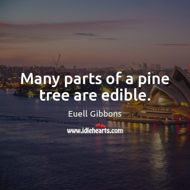 Many parts of a pine tree are edible. Image