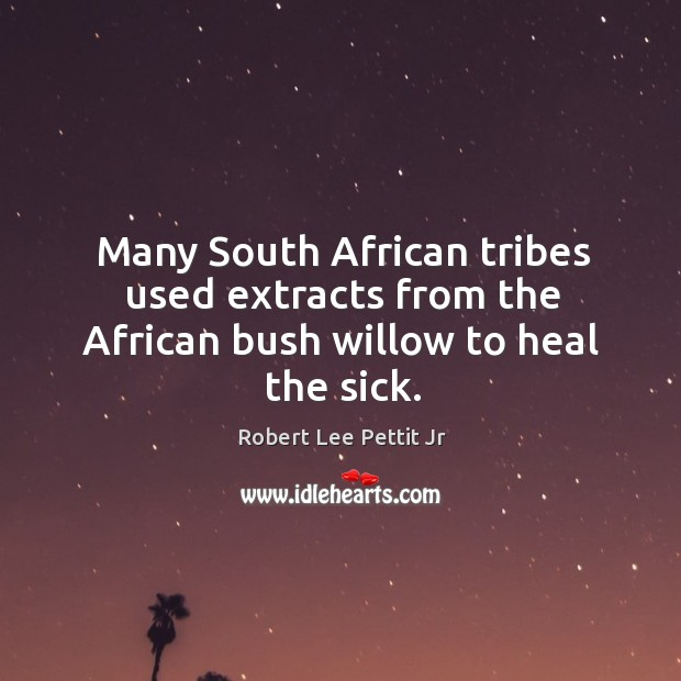Many south african tribes used extracts from the african bush willow to heal the sick. Image