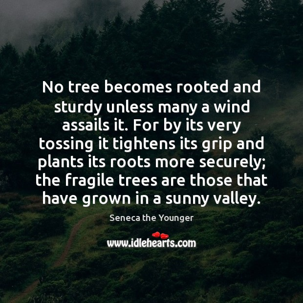 No tree becomes rooted and sturdy unless many a wind assails it. Seneca the Younger Picture Quote