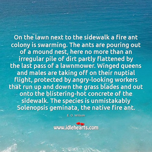 On the lawn next to the sidewalk a fire ant colony is E. O. Wilson Picture Quote