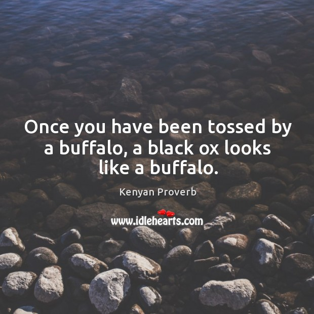 Image, Once you have been tossed by a buffalo, a black ox looks like a buffalo.