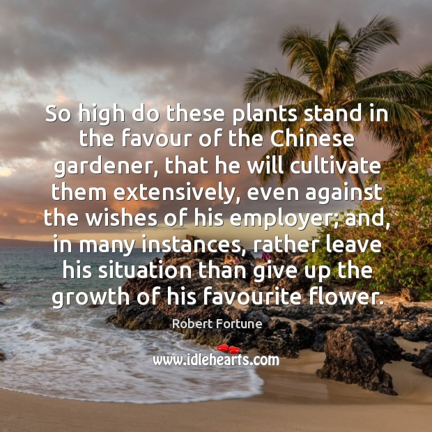 So high do these plants stand in the favour of the chinese gardener Robert Fortune Picture Quote