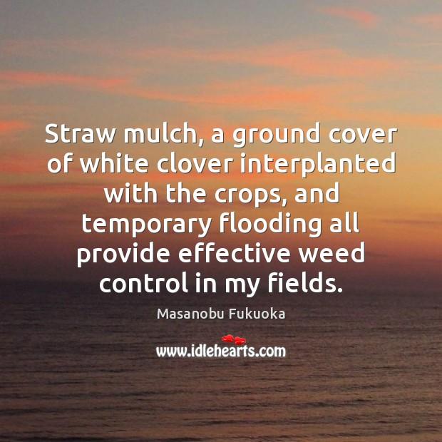 Straw mulch, a ground cover of white clover interplanted with the crops, Masanobu Fukuoka Picture Quote