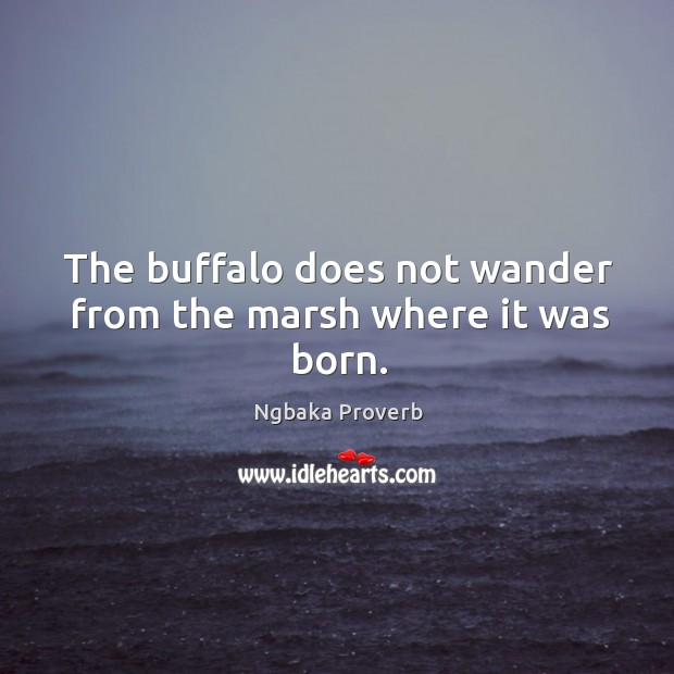The buffalo does not wander from the marsh where it was born. Ngbaka Proverbs Image