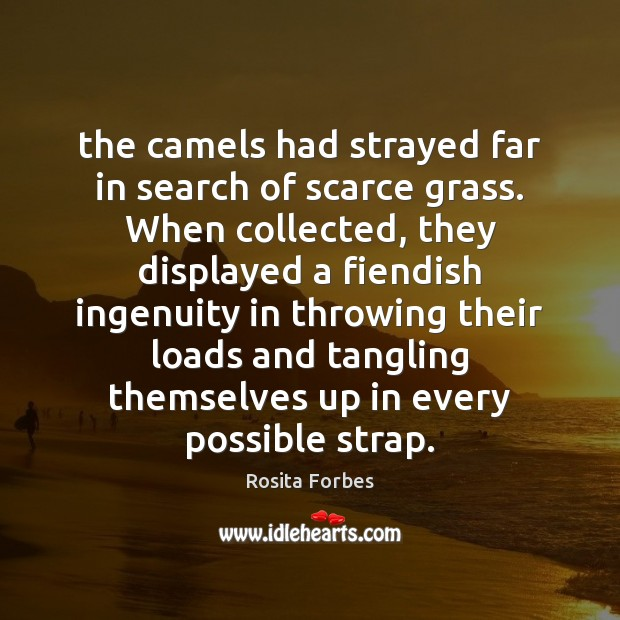 The camels had strayed far in search of scarce grass. When collected, Image