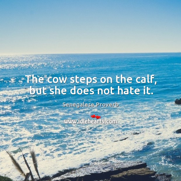 The cow steps on the calf, but she does not hate it. Image