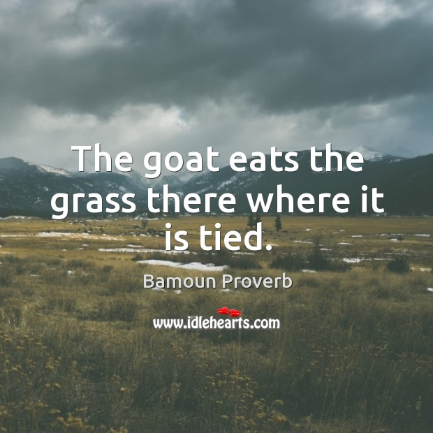 Image, The goat eats the grass there where it is tied.