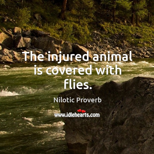 The injured animal is covered with flies. Nilotic Proverbs Image