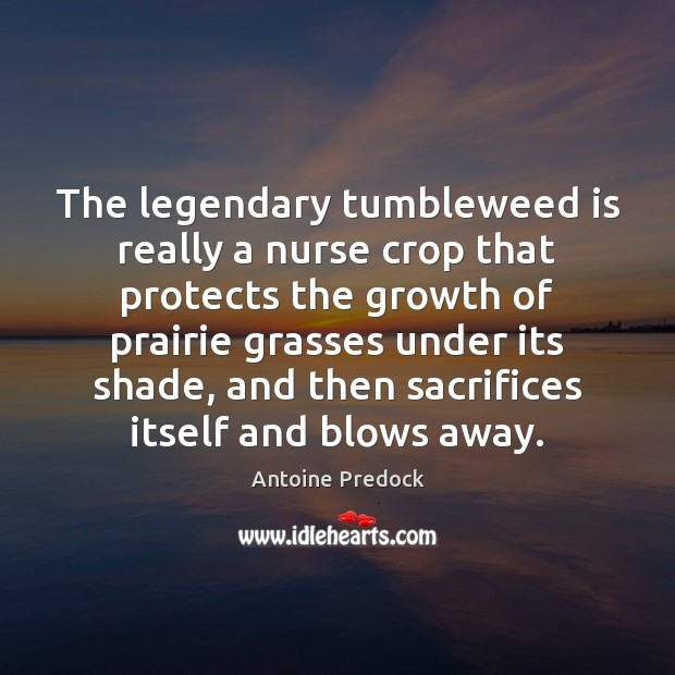 The legendary tumbleweed is really a nurse crop that protects the growth Image