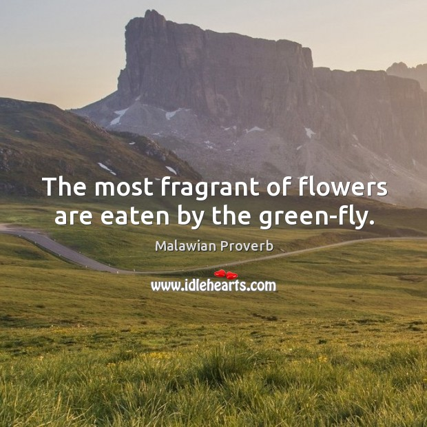 The most fragrant of flowers are eaten by the green-fly. Malawian Proverbs Image