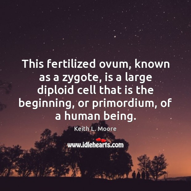 Image, This fertilized ovum, known as a zygote, is a large diploid cell