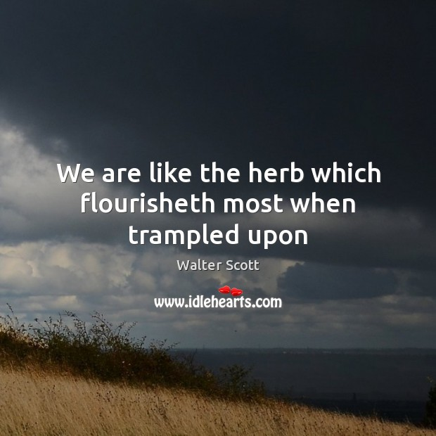 We are like the herb which flourisheth most when trampled upon Walter Scott Picture Quote
