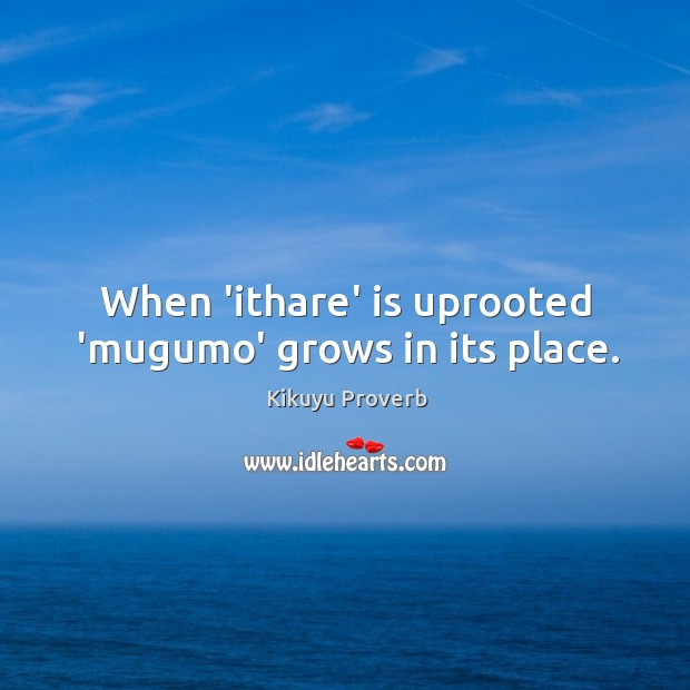 When 'ithare' is uprooted 'mugumo' grows in its place. Image