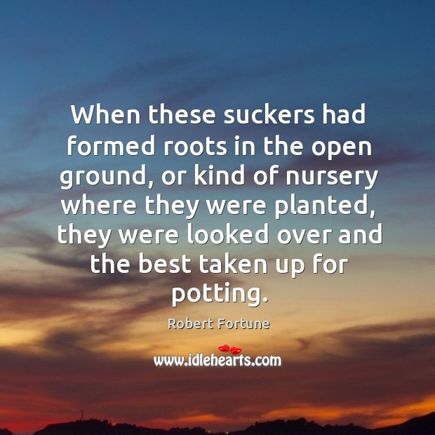 When these suckers had formed roots in the open ground, or kind of nursery Robert Fortune Picture Quote