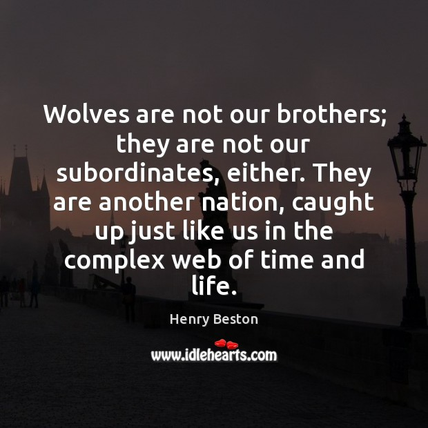 Wolves are not our brothers; they are not our subordinates, either. They Henry Beston Picture Quote
